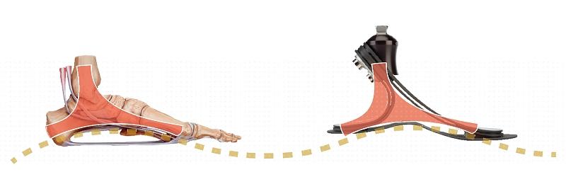 Lidská noha a chodidlo Trias