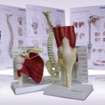 Anatomické plakáty a modely za příjemnou cenu